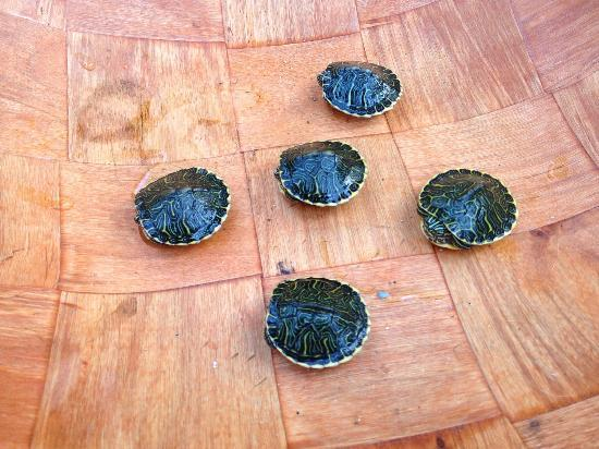 Baby turtles born at the Angelfish Inn!