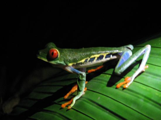 Selva Verde Lodge : Red-eyed Tree Frog