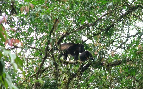 Selva Verde Lodge: Howler Monkeys