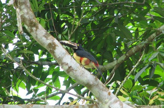 Selva Verde Lodge : Lots of Aracaris