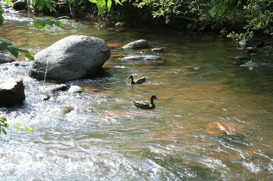 L'Auberge de Sedona: Ducks in Oak Creek (taken from the creekside dining area)