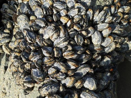Muir Beach, Californië: clams on rocks