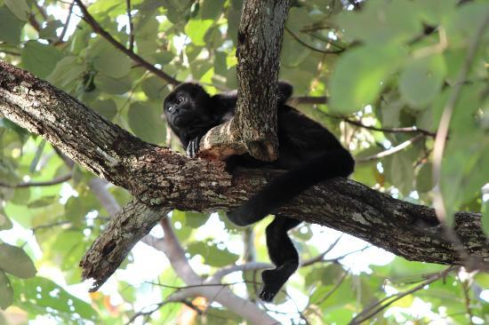 Los Altos de Eros: Howler monkeys on the property