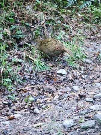 Eco Wanaka Adventures: A real treat, one of our native birds - the Weka