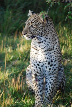 Mara Explorer Camp: We were lucky enough to see a few leopards