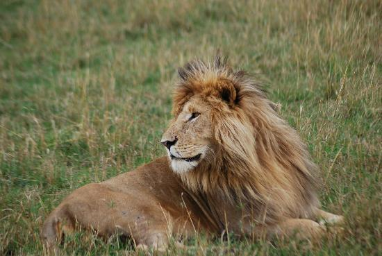 Mara Explorer Camp: One of the many lions we saw