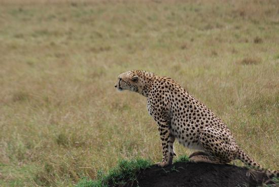Mara Explorer Camp: Plenty of cheetahs around