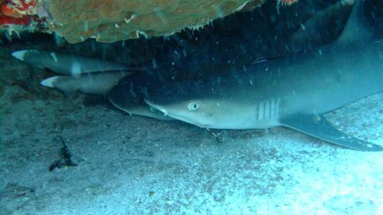 Paradise Sun: 4x Sharks
