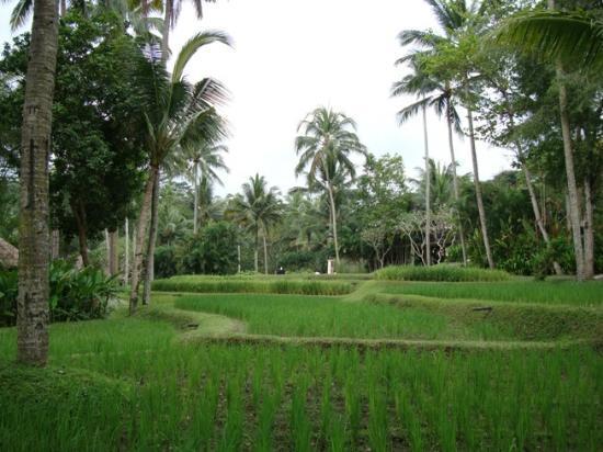 Four Seasons Resort Bali at Sayan: Rice terrace