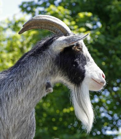 Kilnsey Park: Clyde one of the Kilnsey pygmy goats