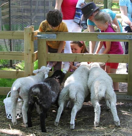 Kilnsey Park: Kids feeding the lambs in Spring