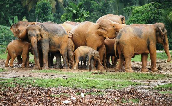 Pinnawala Elephant Orphanage照片