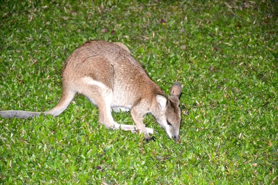 Kewarra Beach Resort & Spa: Wallaby nel prato