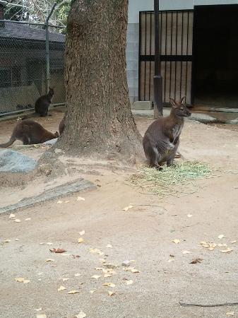 Satsukiyama Park: オーストラリアからやってきたワラビー
