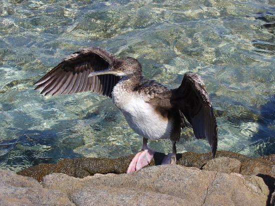 La Pelosa Beach : Un cormorano