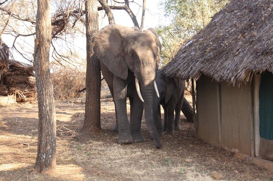 ‪‪Tarangire Safari Lodge‬: Elephant between the rooms
