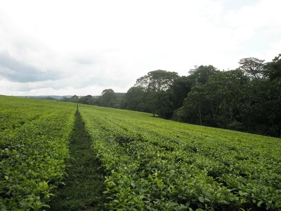 Tea Plantations in Kericho