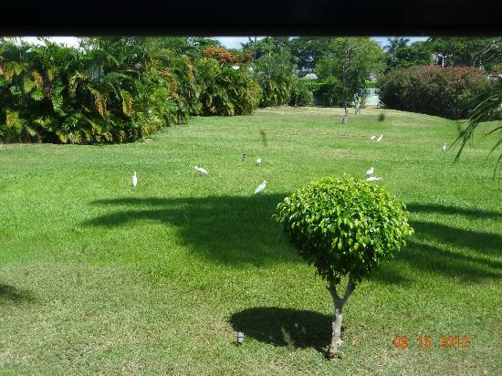 ClubHotel Riu Ocho Rios: this is where birds and roasters roam, this is in the begining of the resort