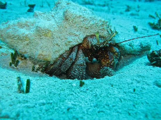 Scuba Libre: Hermit crab