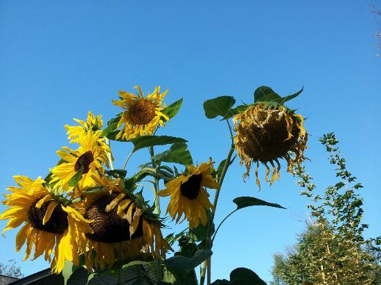 Windborne Bed and Breakfast: Giant Sunflowers in Marc's Garden