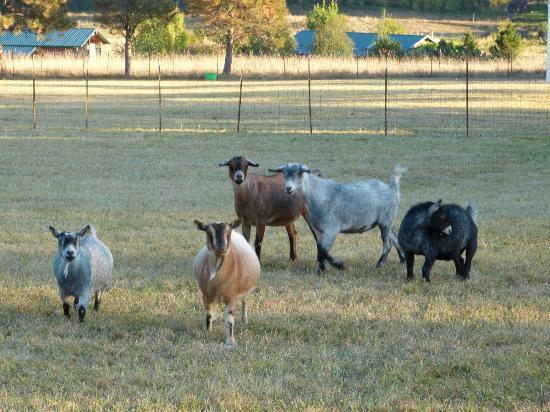Trumpeter Inn: Dwarf Goats