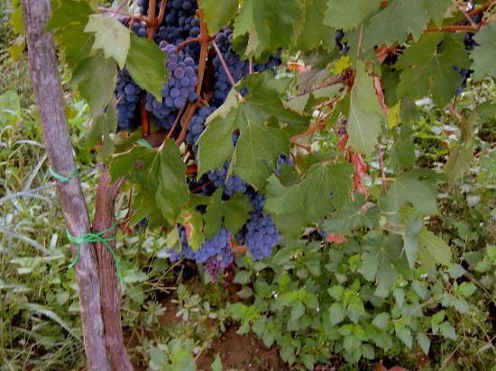 Villa Il Crocicchio: Grapes