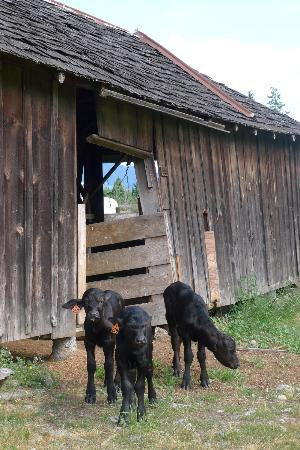 Fairburn Farmstay and Guesthouse: baby water buffalo