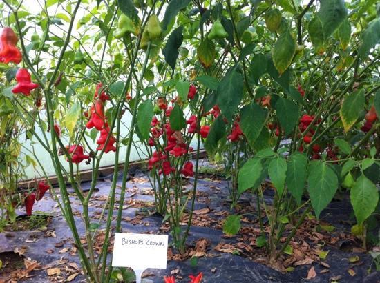 South Devon Chilli Farm: Bishop's Crown chilli