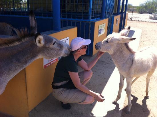 Divi Flamingo Beach Resort and Casino: Donkey Sanctuary