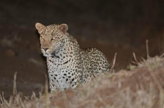 Singita Sweni Lodge: Leopard sighting after sundowners