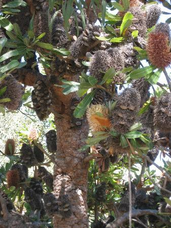 UCSC Arboretum: Interesting Cones