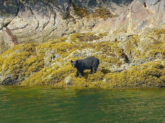 Prince Rupert Adventure Tours: oso negro en Khuzymateen
