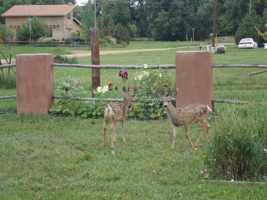 Inn at the Spanish Peaks: Fawns in back yard
