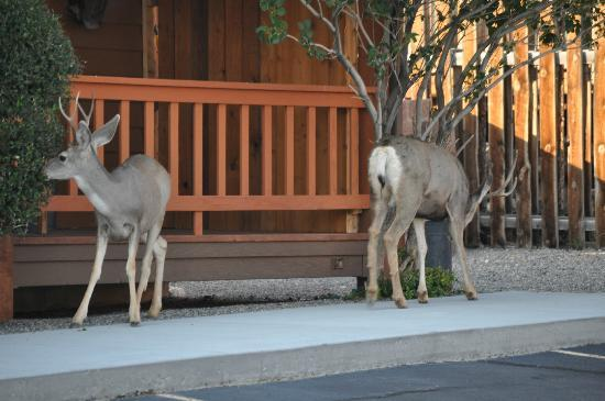 Yellowstone Village Inn: Two deer outside the Inn. Wildlife is all around