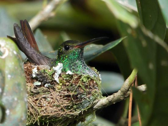 Arenal Observatory Lodge & Spa: Hummingbird nesting