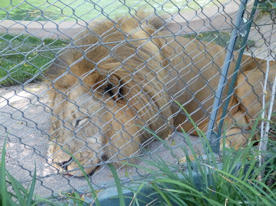 Lion Picture Of Siegfried Roy 39 S Secret Garden And