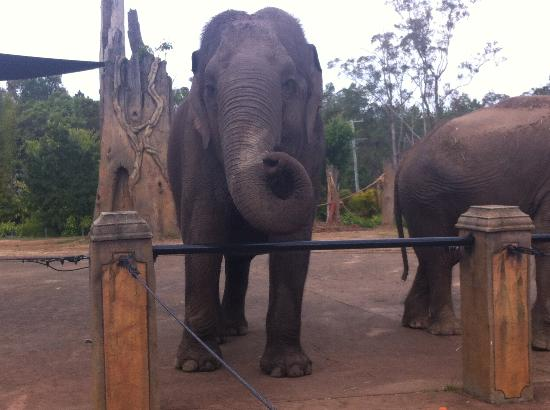 Beerwah, Austrália: Sabu - Asian Elephant born in Burma 1959 GORGEOUS!