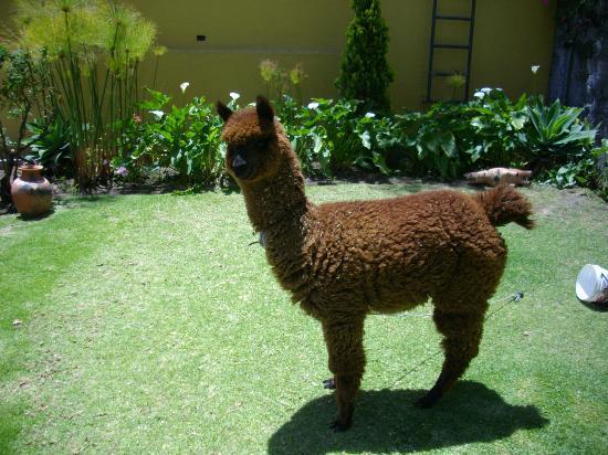 El Cabildo: Sumac, a alpaca que vive no pátio interno