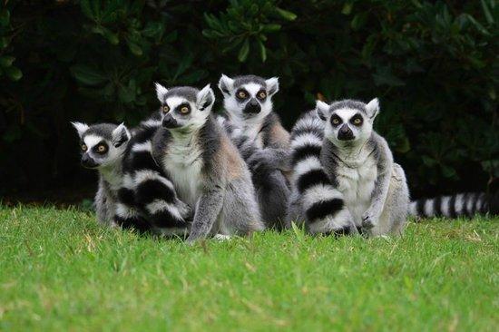 Lignano Sabbiadoro, Italien: Lemuri dalla coda ad anelli
