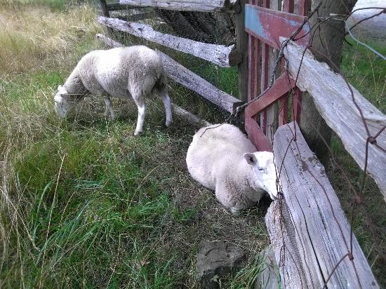 Corbett House Country Inn : Sheep on the grounds.