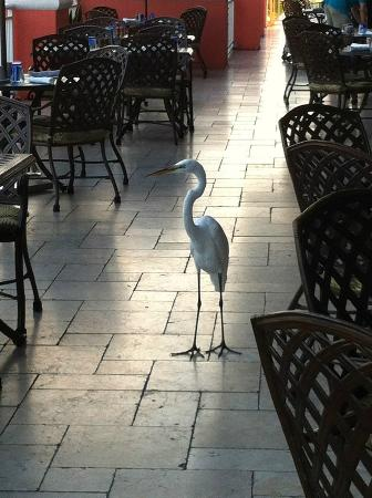 Hyatt Regency Clearwater Beach Resort & Spa: Breakfast 'visitor'