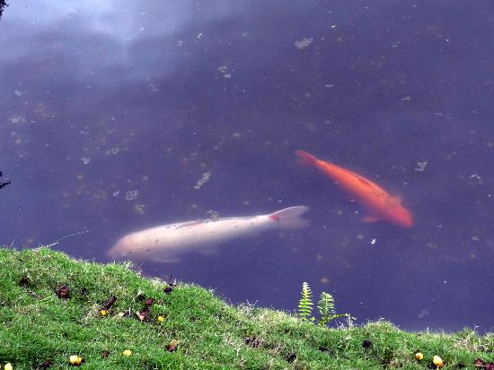 Byodo-In Temple: Lone koi fish