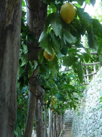Villa Rina Country House Amalfi: Lemon trees in Rina's garden