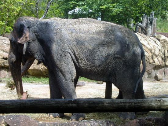 Busch Gardens Tampa: elephant