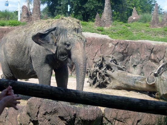 Busch Gardens: elephant