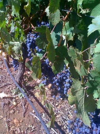 VGS Chateau Potelle : grapes