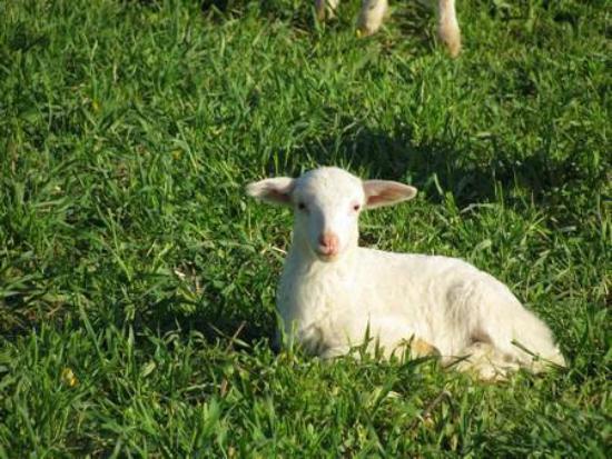 Agriturismo La Valle degli Ulivi: Allevamento Ovino dell'Azienda Agricola La Valle degli Ulivi
