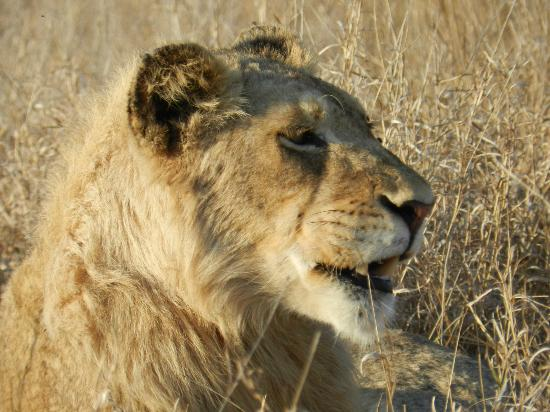 Tanda Tula Safari Camp: Young male lion who was separated from his pride