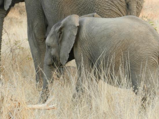Tanda Tula Safari Camp: Elephant calf - so cute!