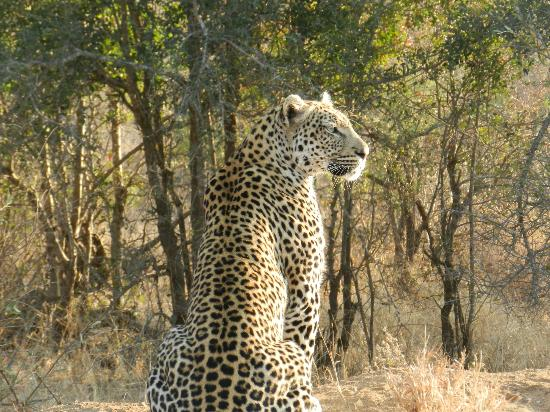 Tanda Tula Safari Camp: Leopard - beautiful!